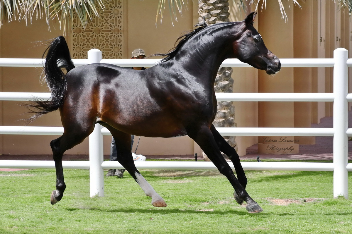 The Platinum World Champion Stallion, Royal Colours