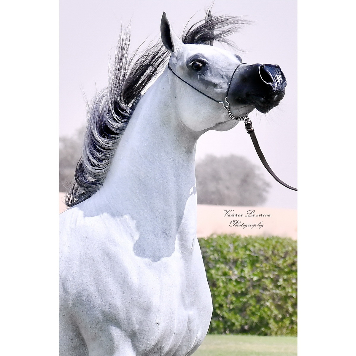"""A wide forehead, dish-faced and a swan-neck are characteristic features of the Arabians."""